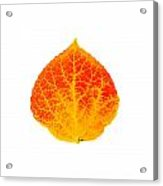 Small Red And Yellow Aspen Leaf 1 - Print Version Acrylic Print