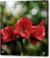 Small Red Flowers Acrylic Print
