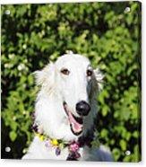 Smiling Borzoi Dog Acrylic Print by Christian Lagereek