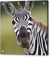 Smiling Burchells Zebra Acrylic Print