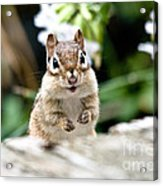 Smiling Chipmunk Acrylic Print