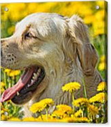 Smiling Dog Acrylic Print