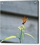 Smiling Dragonfly 2 Meerrp Acrylic Print