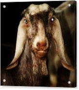 Smiling Egyptian Goat II Acrylic Print