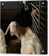 Smiling Goats  Acrylic Print