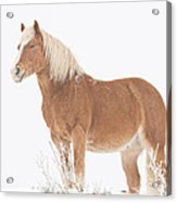 Smiling Palomino In The Snow Acrylic Print