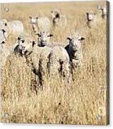 Smiling Sheep Acrylic Print