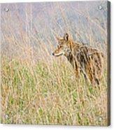 Smoky Mountains Coyote Acrylic Print