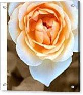 Smooth Angel Rose Acrylic Print