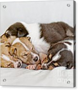 Smooth Collie Puppies Taking A Nap Acrylic Print