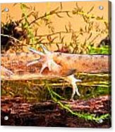 Smooth Or Common Newt  Acrylic Print