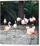 Smudgestick Flamingos Acrylic Print
