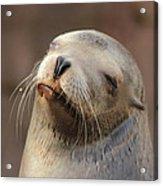 Smug Sea Lion Acrylic Print