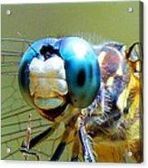 Snack Time Dragonfly Acrylic Print