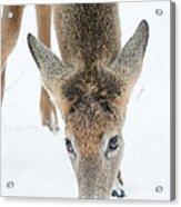 Snacking Deer Acrylic Print
