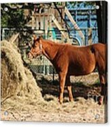 Snacking On Some Hay Acrylic Print