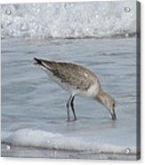 Snacking Sandpiper Acrylic Print