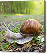 Snail Creeping Over A Forest Path Acrylic Print