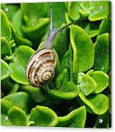 Snail Acrylic Print by Ivelin Donchev