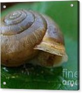 Snail On Leaf Acrylic Print