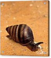 Snail Pace Acrylic Print