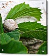 Snail Shell Acrylic Print