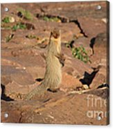 Mongoose Or Snake Eater Acrylic Print