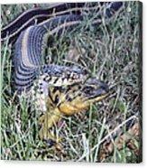 Snake With Legs Acrylic Print