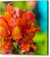 Snapdragon Flower Blurred Background Acrylic Print