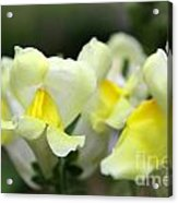 Snapdragons Group Of Yellow Cream Acrylic Print
