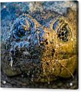 Snapping Turtle Acrylic Print