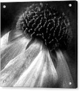 Sneezeweed Acrylic Print