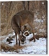Sniffing Stag Acrylic Print