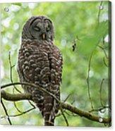 Snooze Time - Owl Acrylic Print