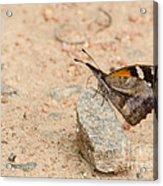 Snout Butterfly  Acrylic Print