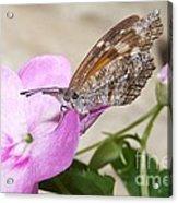 Snoutnose Butterfly Acrylic Print
