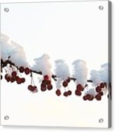 Snow And Berries Acrylic Print