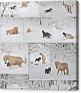 Snow Angels Paso Fino Style Acrylic Print