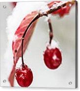 Snow Berries Acrylic Print by Aaron Aldrich