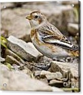 Snow Bunting Pictures 43 Acrylic Print