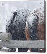 Snow Butts Acrylic Print