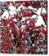 Snow Capped Berries Acrylic Print