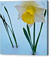 Snow-capped Daffodil On May 21 Near Des Chutes National Forest-or  Acrylic Print