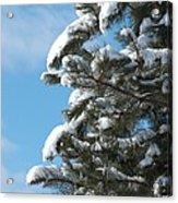 Snow-clad Pine Acrylic Print