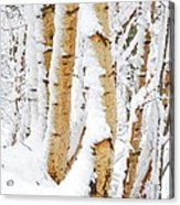 Snow Covered Birch Trees Acrylic Print by John Kelly