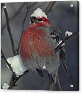 Snow Covered Pine Grosbeak Acrylic Print
