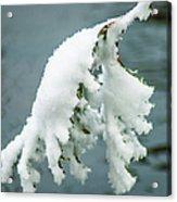 Snow Covered Pine Tree Branch Acrylic Print