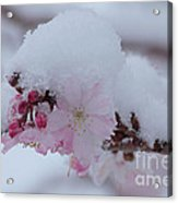Snow Covered Pink Cherry Blossoms Acrylic Print