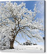 Snow Covered Winter Oak Tree Acrylic Print