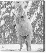 Snow Dancer Acrylic Print